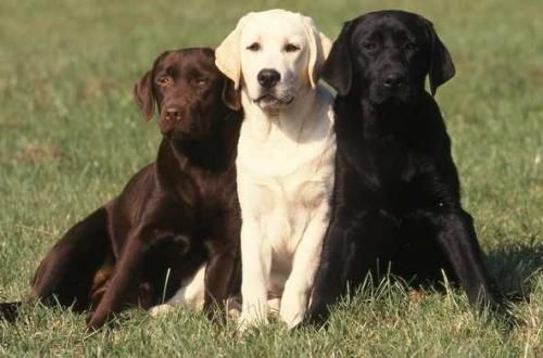 Labrador Retriever (Foto: Reprodução / Google)