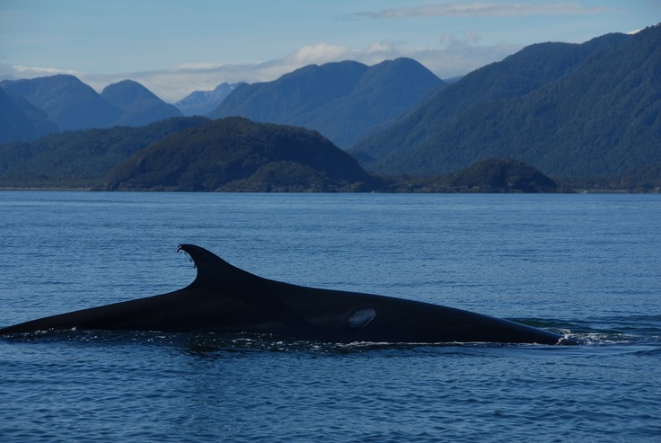 Chile, Blue Whales.  It could be amazing to see those world's largest creature in Gulf of Corcovado. I will touch them if I can.