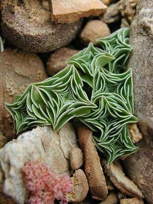 Diamond Shaped Tibetan Succulent
