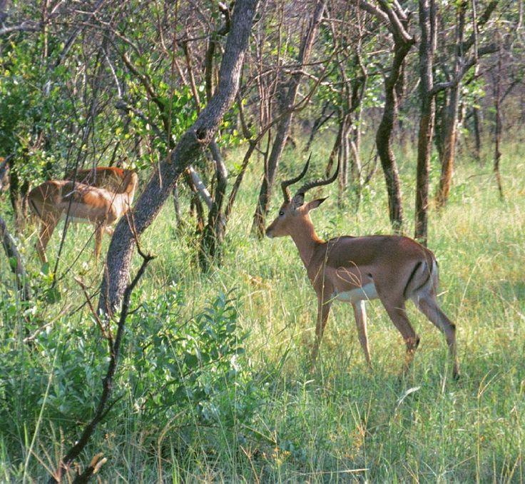 Дикая природа Южной Африки. Грациозные импалы, которых называют Макдональдсом саванны, - лёгкая добыча львов. :( +++++  South African Wildlife - Graceful Impala - bush McDonald's - lions'  easy lunch :(