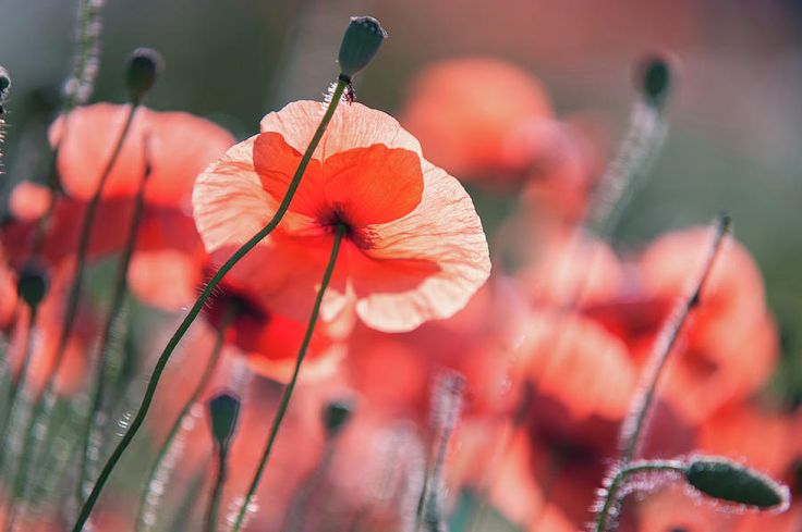 Red Poppies Remembrance 2 by Jenny Rainbow