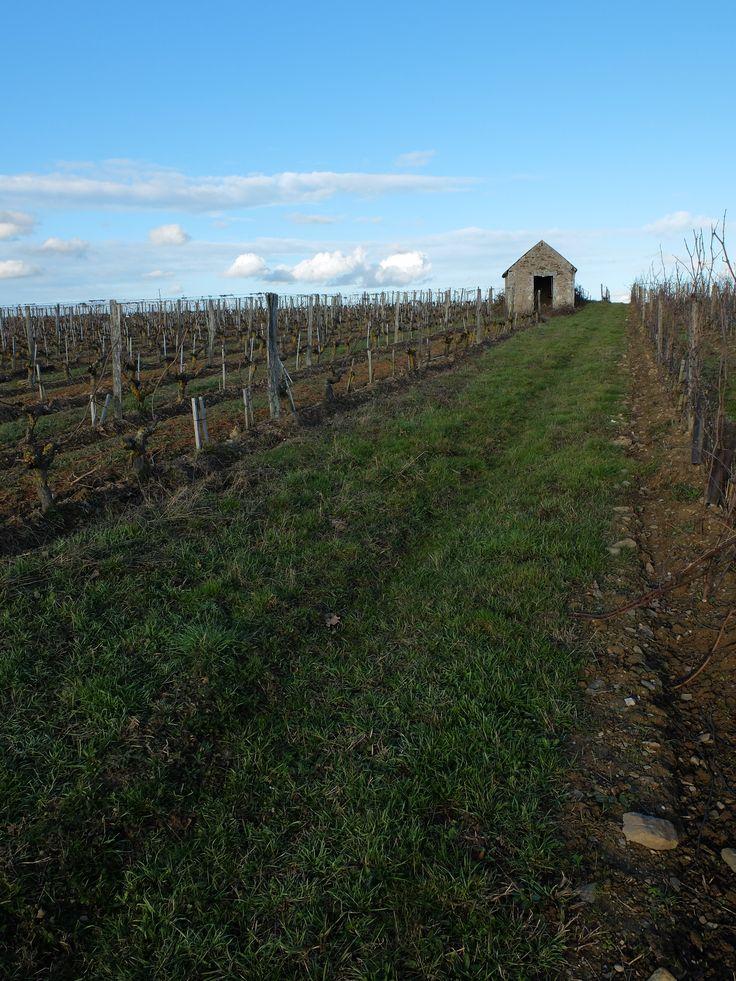 Les vignes à Epiré (10 km d'Angers) Photo MNC