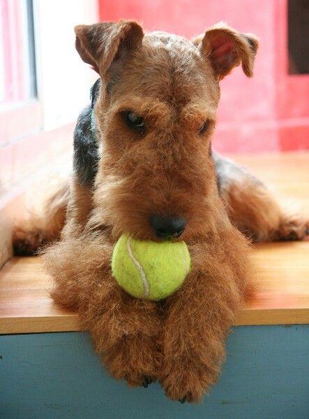 Totally a Welsh terrier! Gibbs loves his tennis ball.