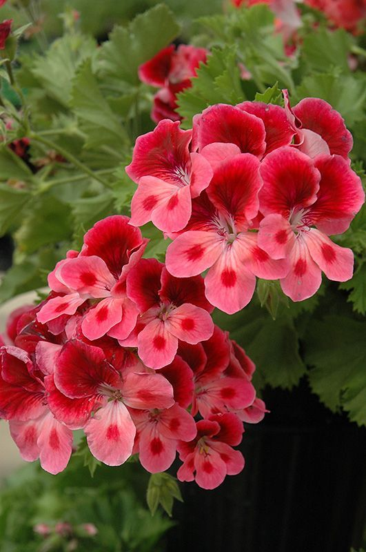 awesome Candy Flowers Pink Eye Geranium (Pelargonium 'Candy Flowers Pink Eye') a...
