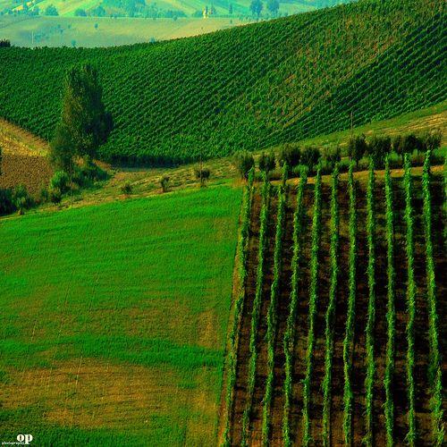 Vineyard | Osvaldo_Zoom