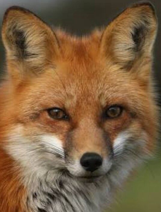 Fox Face Pet Fox Fox Face