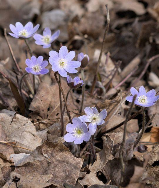 Native Ontario Plants: 35 Best Wildflowers Ontario Images On Pinterest