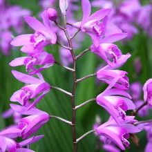 Hardy Ground Orchid for sale buy Bletilla striata