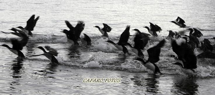 cormoran grande. Punta Arenas Chile