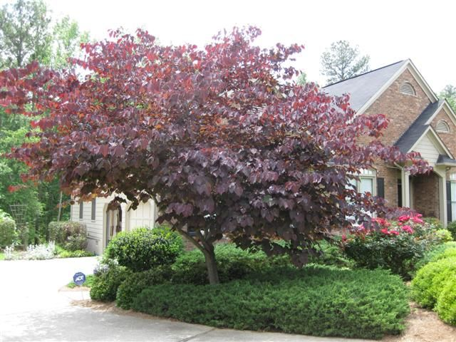 Ornamental tree sun 100 images flowering trees for for Best ornamental trees for zone 7