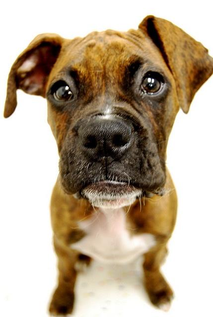 You're getting sleepy...very very sleepy-Boxer Pup