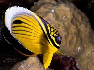 photo by Alin Miu - Striped Butterflyfish – Chaetodon fasciatus #reef #underwaterphotography
