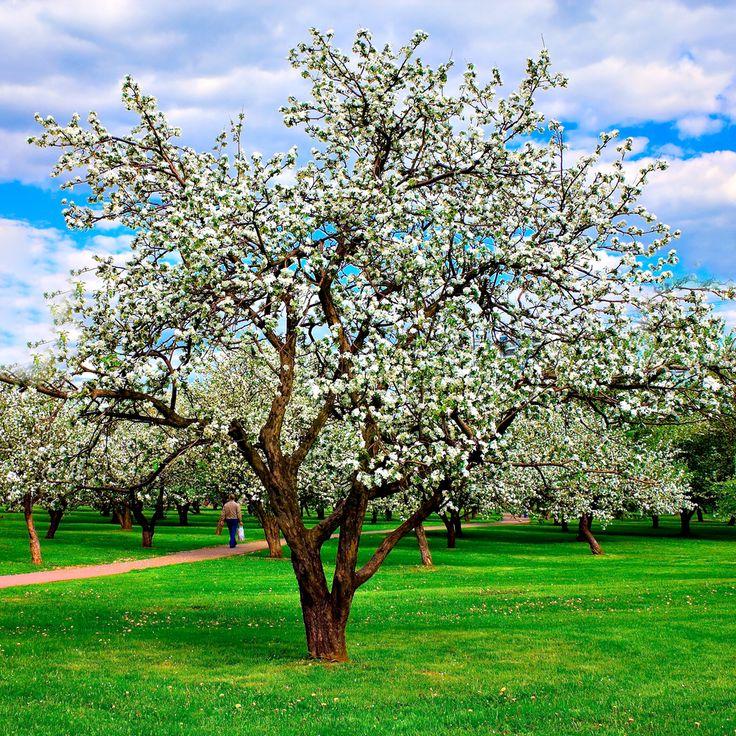Appelboom Bramleys Seedling - Malus Domestica http://pratec.nl/product-categorie/bomen/?filtering=1&filter_naam=285 De Bramley's Seedling is een historische ras-appel met een nogal specifieke smaak, zeer geschikt voor pannenkoek desserts, gebak, taarten of als moesappel.