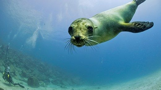 Cute curious seal saying hi to the camera #diving #galapagos #kilroy #backpacking #ocean #wildlife #scuba