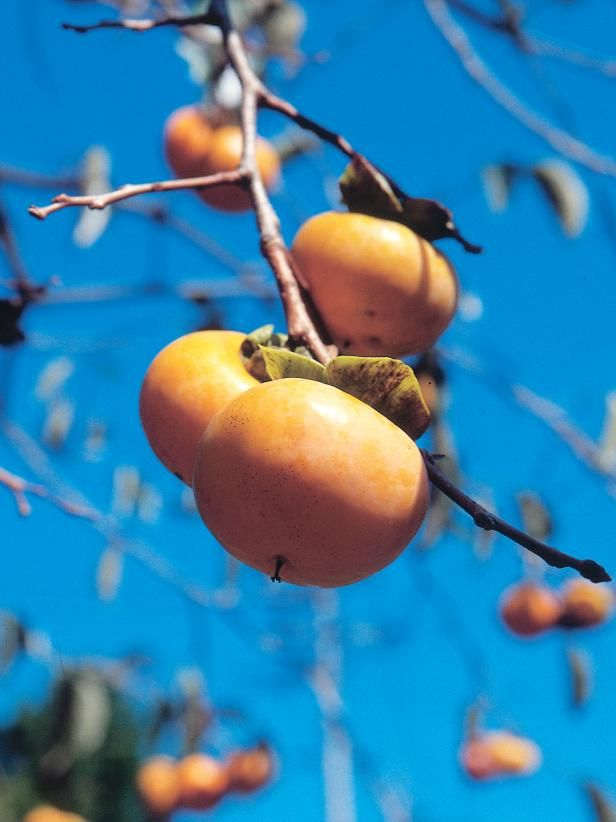 The experts at HGTV.com explain how to properly plant and grow persimmons.