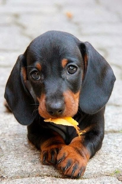 Top 5 Smallest dog breeds The Pet's Planet. This is truly a beautiful Dachshund face