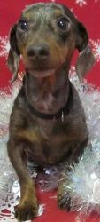 Bravo is an #adoptable #Dachshund #Dog in #Allegan #MICHIGAN Meet this amazing survivor..... Bravo! A 5-6 year old Dapple colored Miniature Dachshund. Bravo was found on the doorstep of a pet lover wrapped in ...