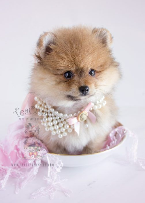 Pomeranian Puppy For Sale by TeaCupsPuppies.com