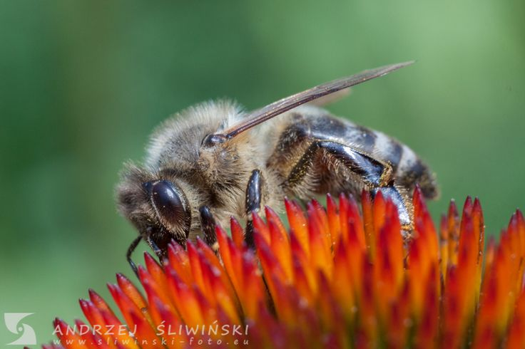 Bee on the flower. #macrophotography