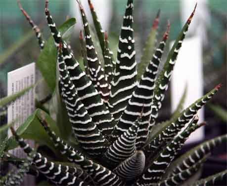 Succulent - Haworthia attenuata  South Africa. aka 'Zebra Plant'. A beautiful species with stiff deep green leaves forming a rosette to 10cm wide. The leaves are strikingly marked with white dots, with white stripes on the undersides. Shade/light shade.