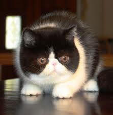 Good Cuby Chubby Adorable Dog - c71ce539a57a3c13cb22bfc4ff61edc6--exotic-shorthair-love-this  Trends_653077  .jpg