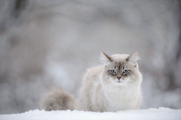 морда белой кошки - Поиск в Google