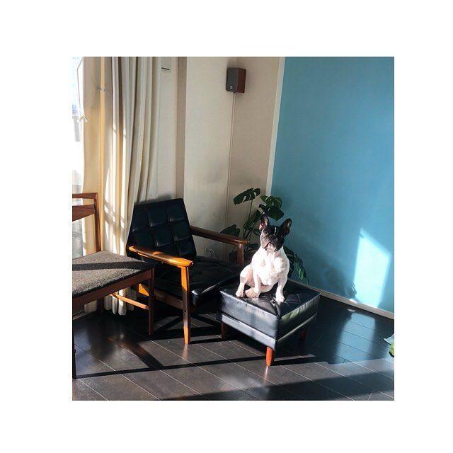 日向ぼっこ中のハナ🌞 ■ □ ■  _______________________________  #フレンチブルドッグ#パイド#フレブル#ブヒ#buhi#愛犬#犬好き#犬好きな人と繋がりたい#おしゃれ#今日のわんこ#インテリア#カリモク60 #オットマン#マンションインテリア #インテリア雑貨 #チェア