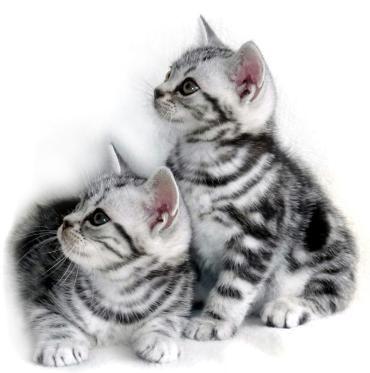 silver tabby American shorthair kittens