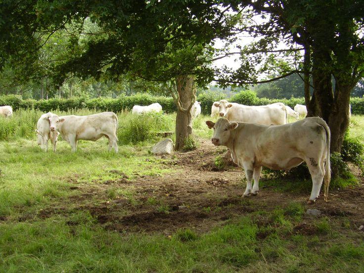Vente directe de viande bovine à la ferme de l'Ivronnière La Ronde 79380 viande charolaise, saucisson, rillette, abat, colis