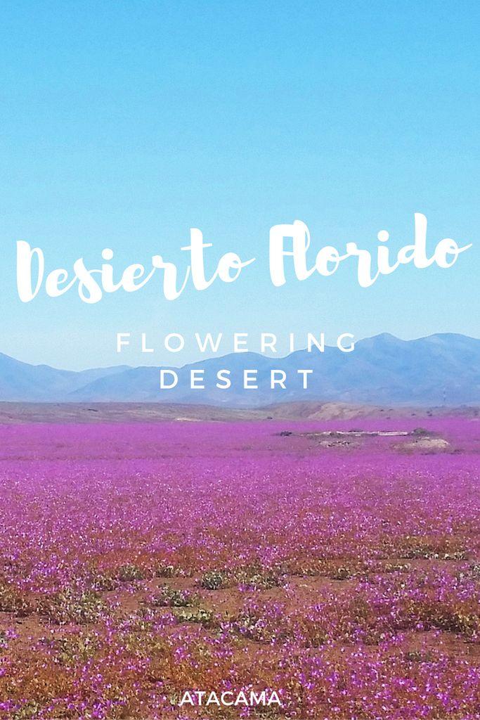 Desierto florido, Atacama, Chile