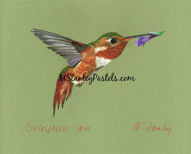 Pastel drawing of the hummingbird Selasphorus sasin. Wish to purchase it? Please go to http://www.etsy.com/shop/mstanleypastels