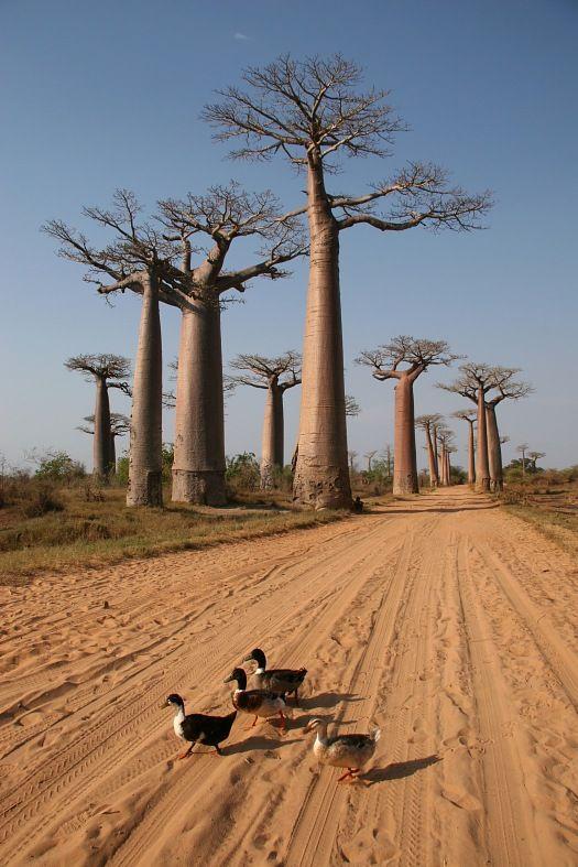 Madagascar travel. Avenue de Baobab, Adansonia madagascariensis. Madagascar tours.