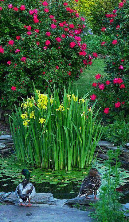 Garden Pond w/ Mallard Ducks http://sphotos-b.ak.fbcdn.net/hphotos-ak-ash4/398615_344156855604389_592552451_n.jpg