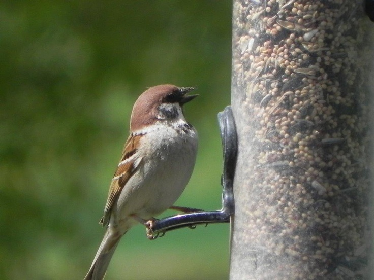 A tree sparrow on our feeder - a rare visitor here