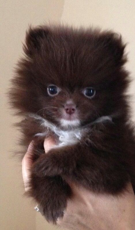 Brown pomeranian puppy | Puppy Puppy Puppy | Pomeranian ...