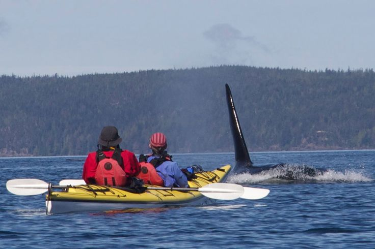 Imagine their surprise when this big bull surface mere metres in front of their kayak.
