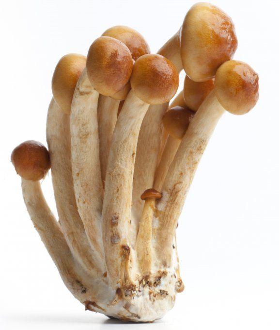 Toskanapilz - im Internet bestellbare Pilzbrut für die Pilzzucht