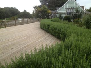 Rosemary as a hedge instead of boxwoods