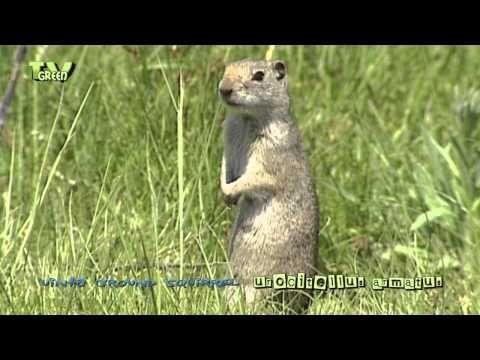 Wild Peers: Uinta Ground Squirrel - spermophilus armatus - YouTube