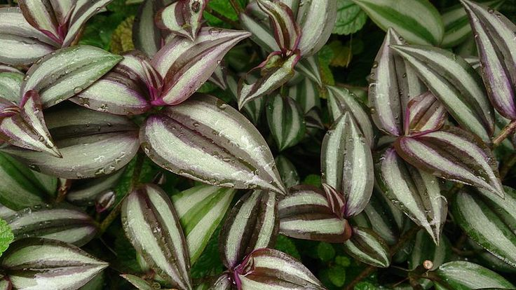 best 25 wandering jew ideas on pinterest planters shade planter ideas and outdoor pots and. Black Bedroom Furniture Sets. Home Design Ideas