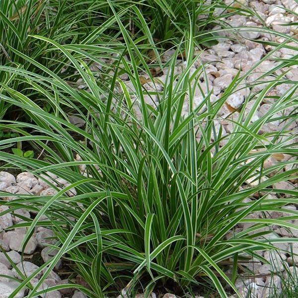 Carex morrowii Ice Dance - Laîche du Japon - Graminée à feuilles vert sombre marginées de blanc-crème.