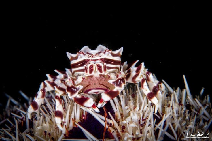 Zebra crab carrying eggs. One the most fashionable crabs I know carrying a new life. Lembeh Indonesia. #undersea #underwater #underwaterphotography #macrophotography #macro #indonesia #lembeh #detail #crab #eggs #scuba #diving #sea #holiday #dream #missingdiving #life #nature #beauty #natural #marine #environment @g.cavallaro_uwphotographers @diving_photography @scubadivingmag @scubadiving_women @scubadivergirls @macro_of_our_world @macro_moves @underwater.photo @uwphotos @nauticam…