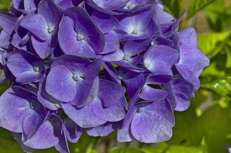 Blue Hydrangea by Annitta Vith Jensen on 500px