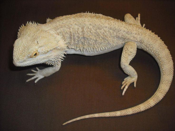 White Bearded Dragon | Cute animals | Pinterest