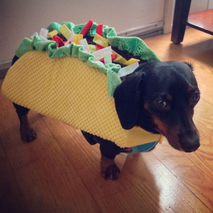 Doxie Taco.  My little man, Brisket, dressed for #halloween : )