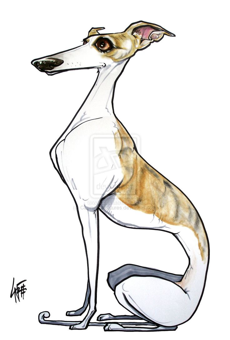 66 best whippets iggies images on pinterest greyhounds whippet caricature by john lafree nvjuhfo Image collections