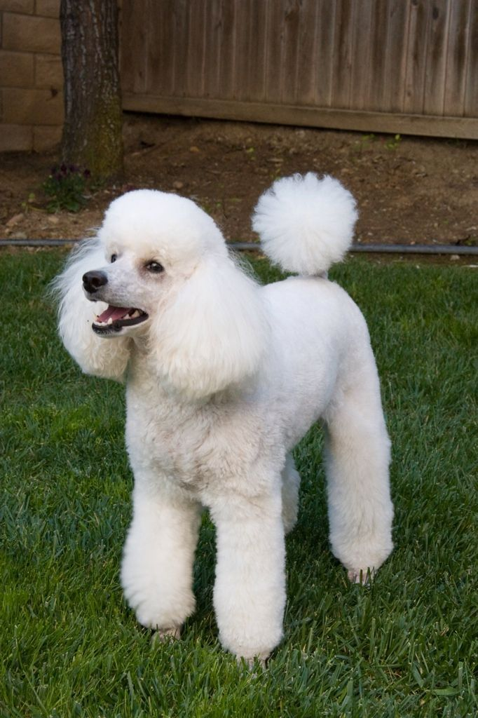 is storm too big for a mini poodle forum standard poodle toy