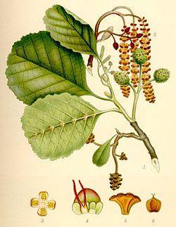 Klibbal - Alnus glutinosa