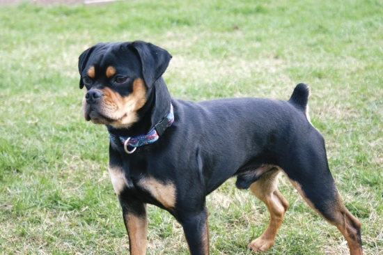 Falling in love with this breed! Carlin Pinscher