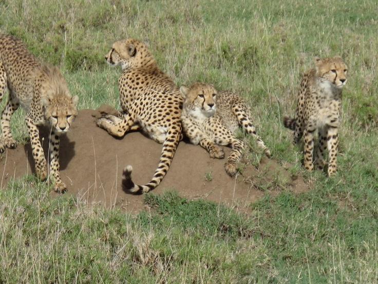 Cheetah look at us while we look at them - who's safari is it?